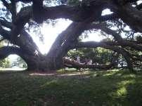nz_auk_tree.jpg
